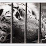 tiger_in_a_cage_1_by_secondclaw.jpg
